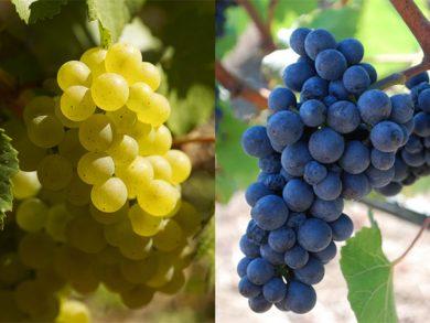 Les Raisins - Pinot Noir et Chardonnay